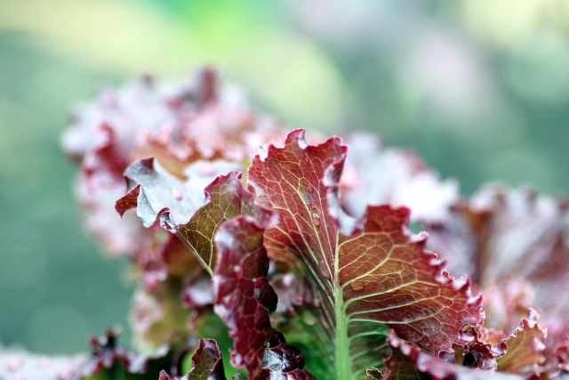 サニーレタス, lettus